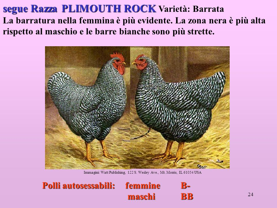 segue Razza PLIMOUTH ROCK Varietà: Barrata