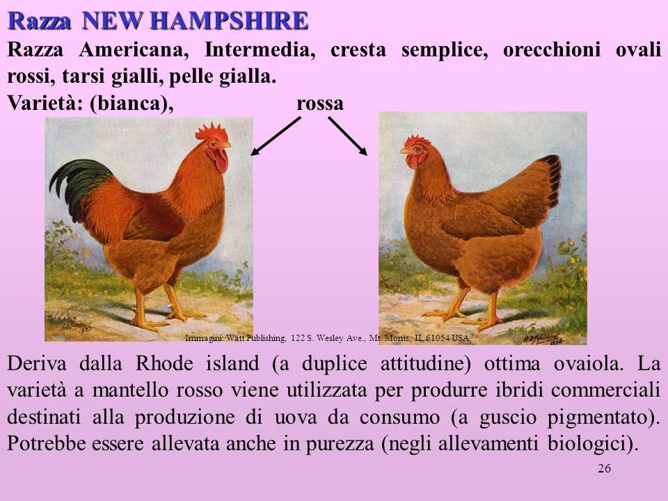 Razza NEW HAMPSHIRE Razza Americana, Intermedia, cresta semplice, orecchioni ovali rossi, tarsi gialli, pelle gialla.