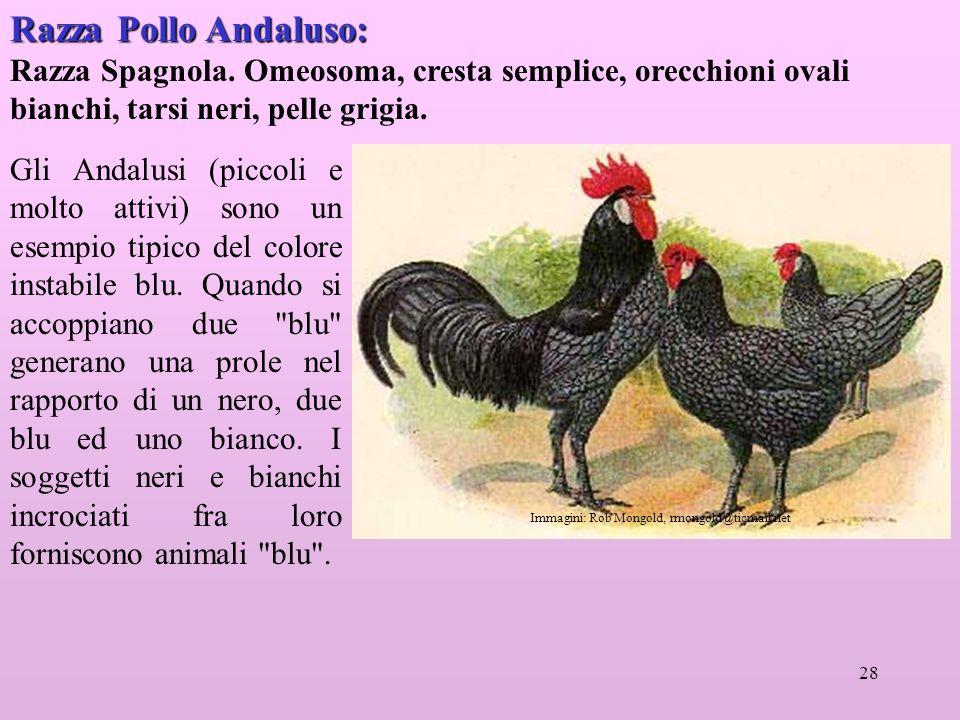 Razza Pollo Andaluso: Razza Spagnola. Omeosoma, cresta semplice, orecchioni ovali bianchi, tarsi neri, pelle grigia.