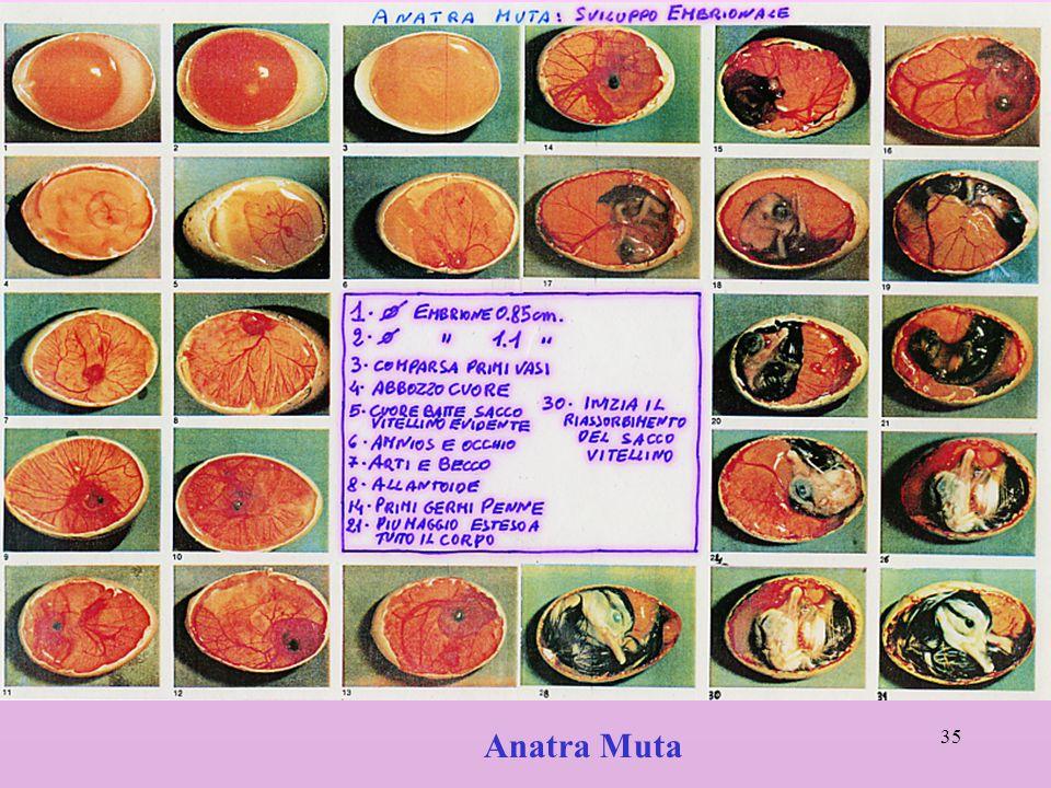 Anatra Muta