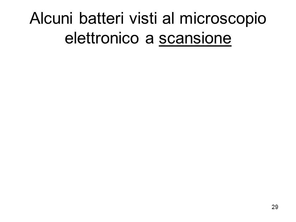 Alcuni batteri visti al microscopio elettronico a scansione