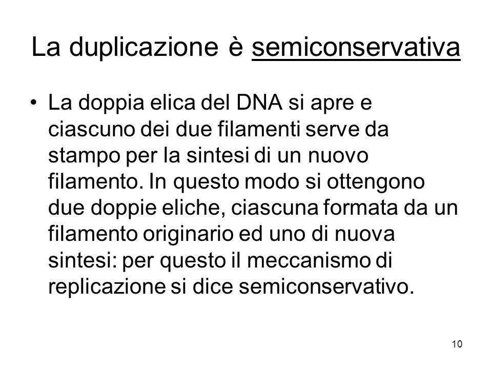 La duplicazione è semiconservativa