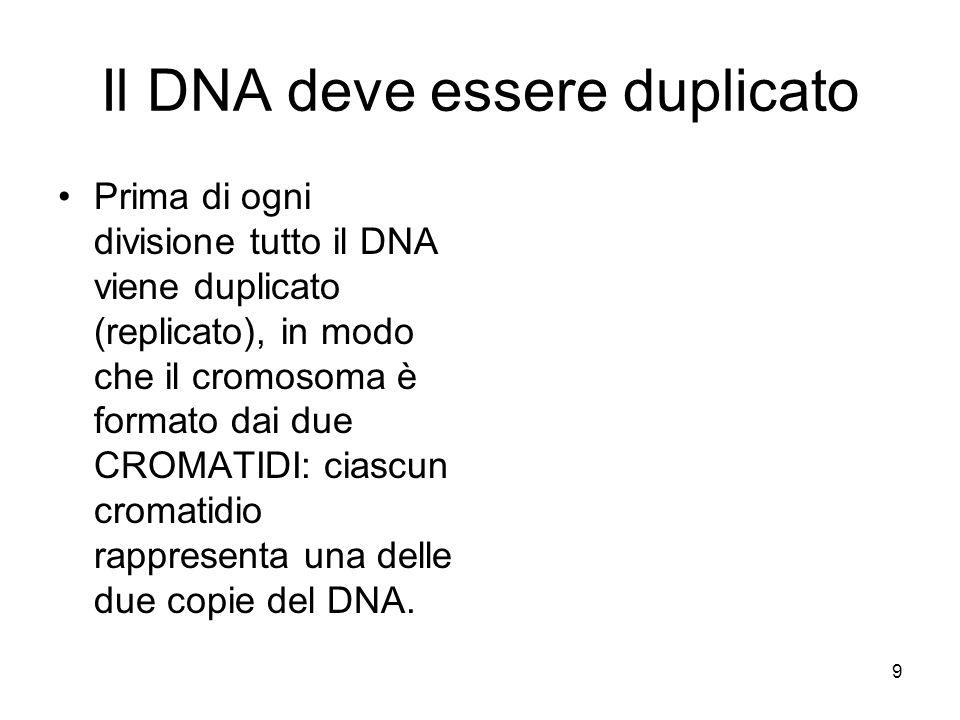 Il DNA deve essere duplicato