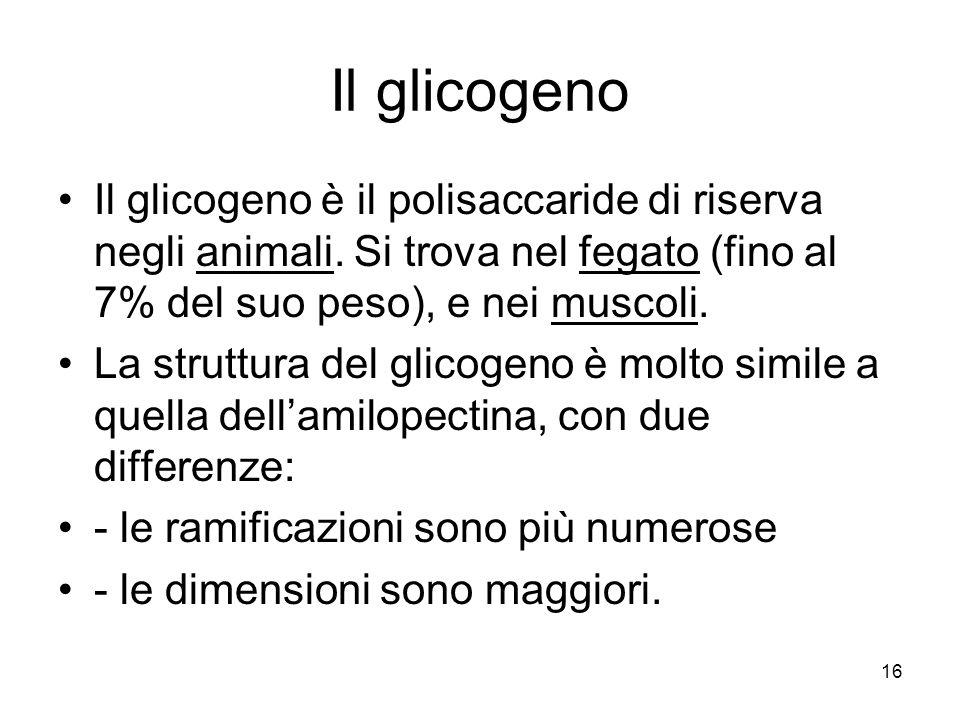 Il glicogeno Il glicogeno è il polisaccaride di riserva negli animali. Si trova nel fegato (fino al 7% del suo peso), e nei muscoli.