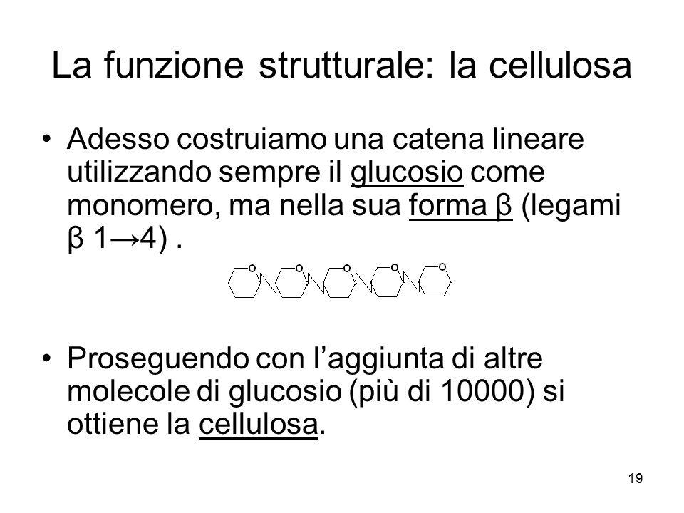 La funzione strutturale: la cellulosa