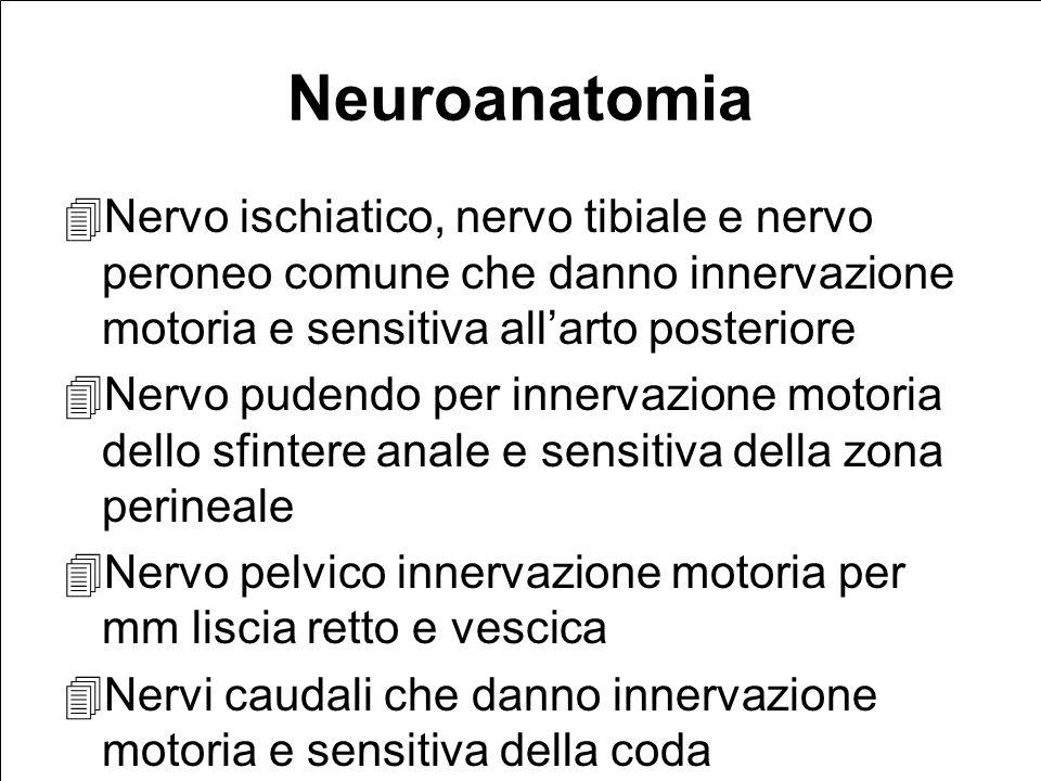 Neuroanatomia Nervo ischiatico, nervo tibiale e nervo peroneo comune che danno innervazione motoria e sensitiva all'arto posteriore.