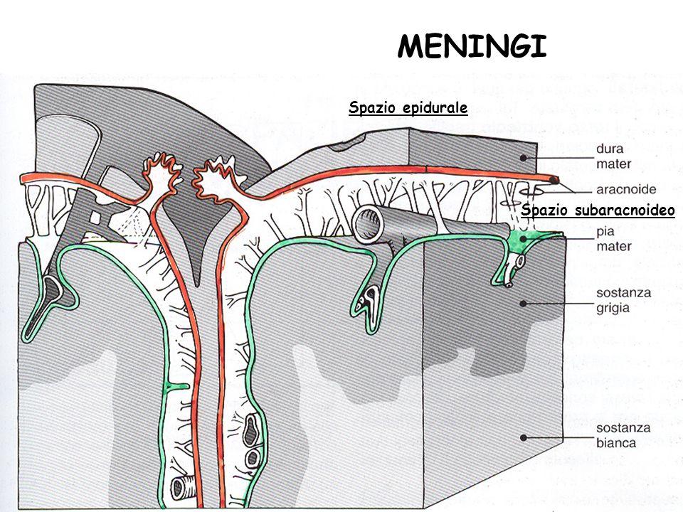MENINGI Spazio epidurale Spazio subaracnoideo