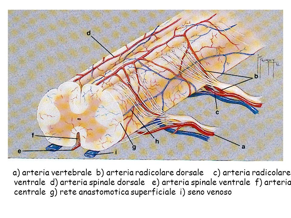 a) arteria vertebrale b) arteria radicolare dorsale c) arteria radicolare ventrale d) arteria spinale dorsale e) arteria spinale ventrale f) arteria centrale g) rete anastomotica superficiale i) seno venoso