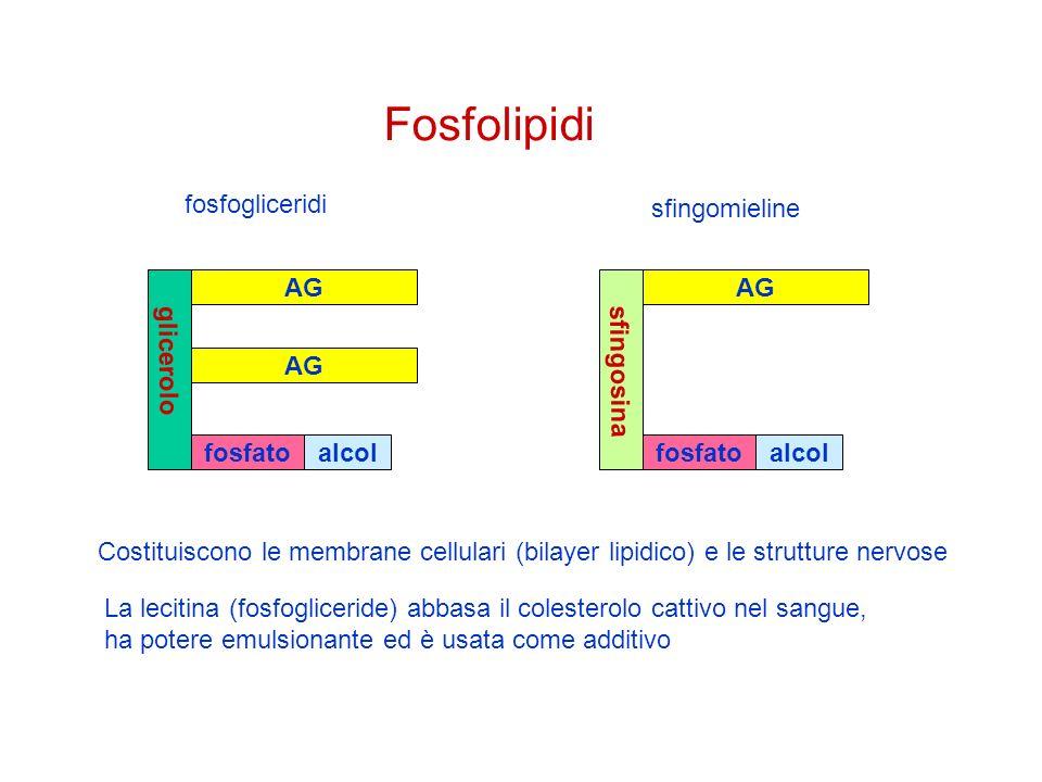 Fosfolipidi fosfogliceridi sfingomieline glicerolo AG fosfato alcol