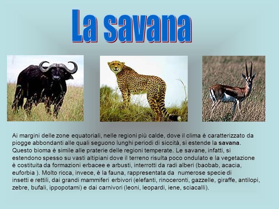 La savana Ai margini delle zone equatoriali, nelle regioni più calde, dove il clima è caratterizzato da.