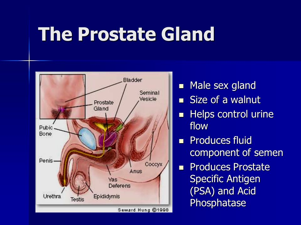 The Prostate Gland Male sex gland Size of a walnut