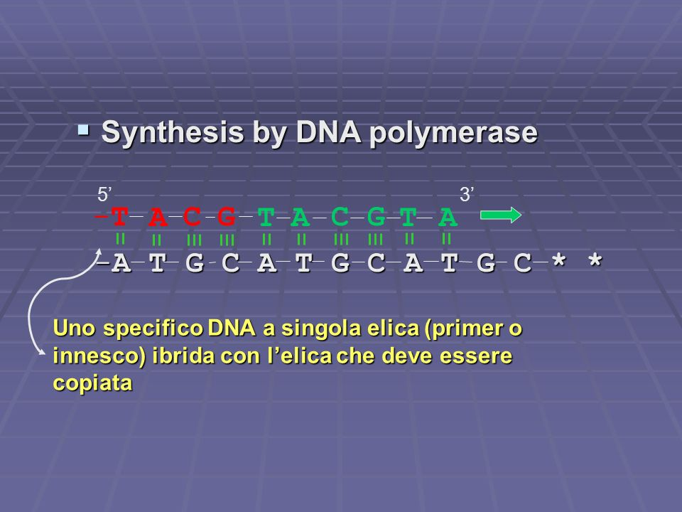 Synthesis by DNA polymerase