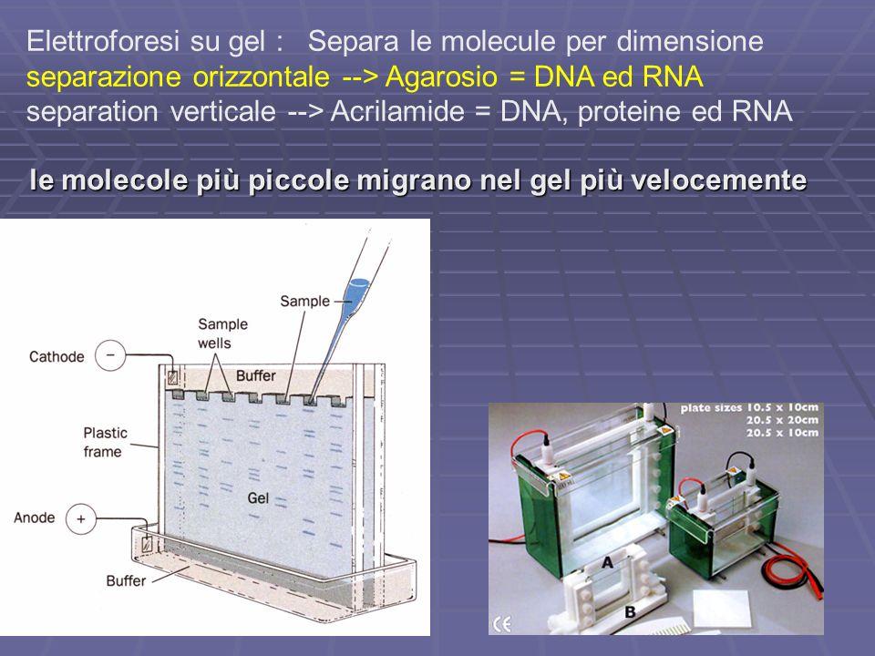 Elettroforesi su gel : Separa le molecule per dimensione