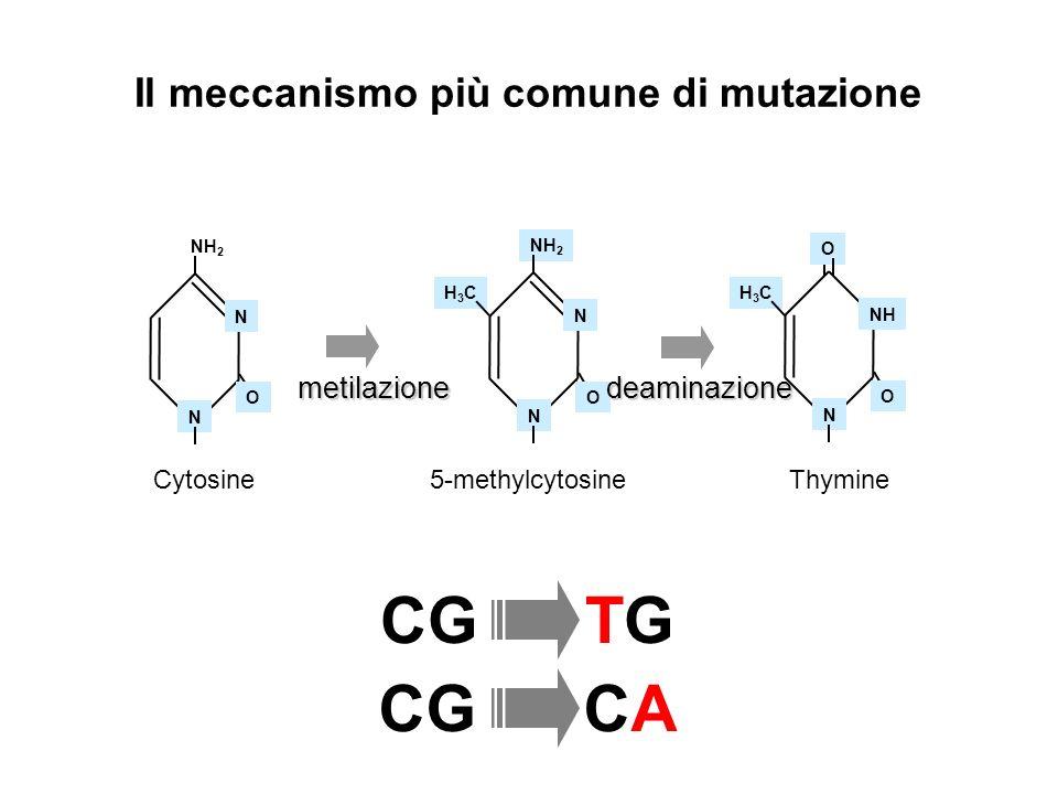 Il meccanismo più comune di mutazione