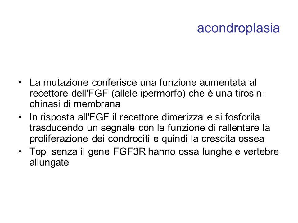 acondroplasia La mutazione conferisce una funzione aumentata al recettore dell FGF (allele ipermorfo) che è una tirosin-chinasi di membrana.