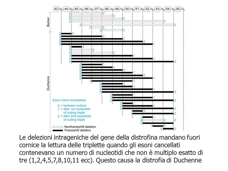 Le delezioni intrageniche del gene della distrofina mandano fuori cornice la lettura delle triplette quando gli esoni cancellati contenevano un numero di nucleotidi che non è multiplo esatto di tre (1,2,4,5,7,8,10,11 ecc).