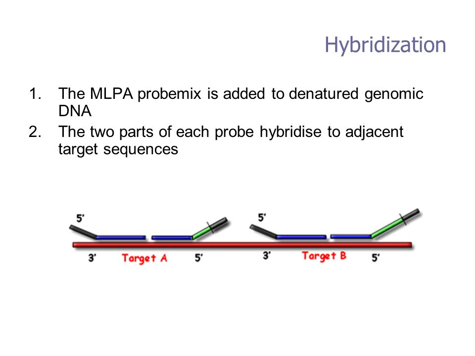 Hybridization The MLPA probemix is added to denatured genomic DNA