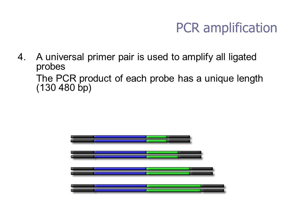 PCR amplification A universal primer pair is used to amplify all ligated probes. The PCR product of each probe has a unique length (130 480 bp)