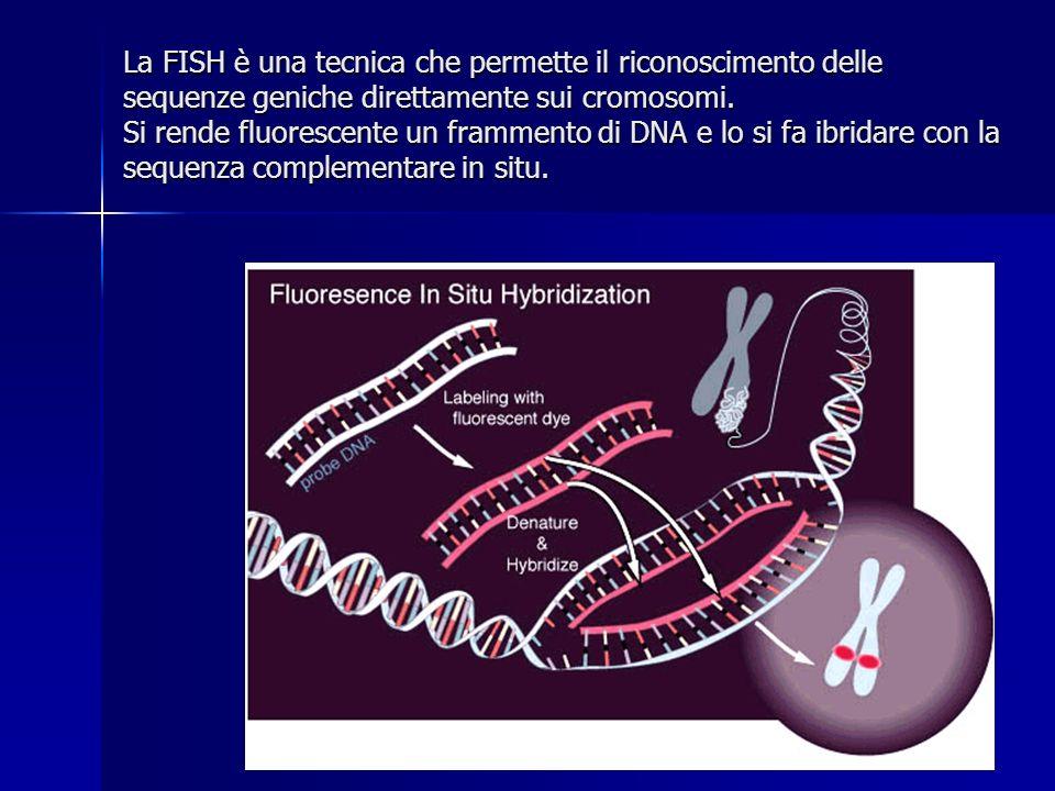 La FISH è una tecnica che permette il riconoscimento delle sequenze geniche direttamente sui cromosomi.