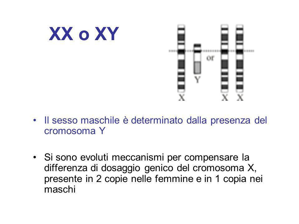 XX o XY Il sesso maschile è determinato dalla presenza del cromosoma Y