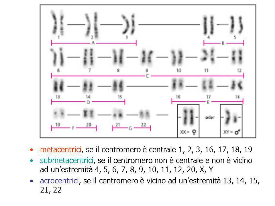 metacentrici, se il centromero è centrale 1, 2, 3, 16, 17, 18, 19