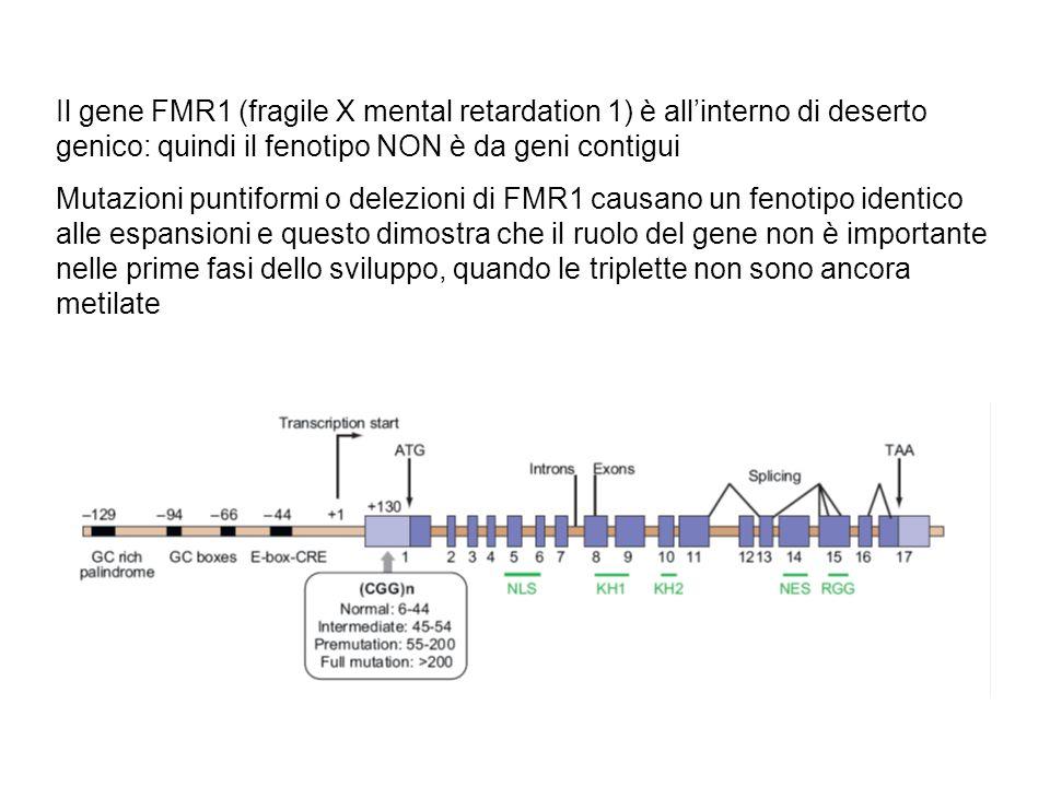 Il gene FMR1 (fragile X mental retardation 1) è all'interno di deserto genico: quindi il fenotipo NON è da geni contigui