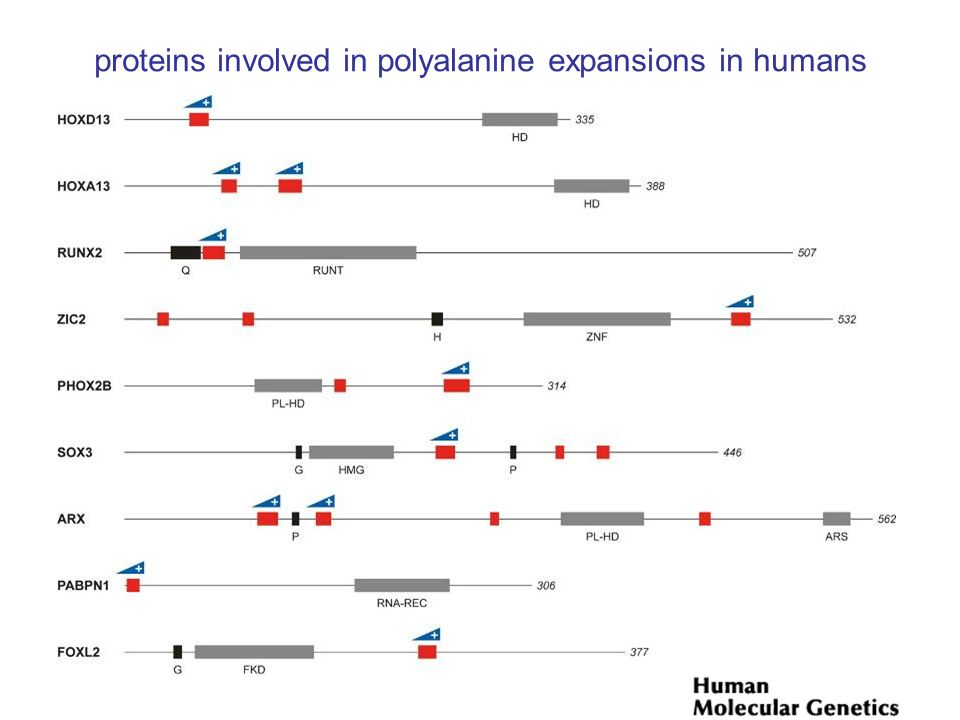 proteins involved in polyalanine expansions in humans