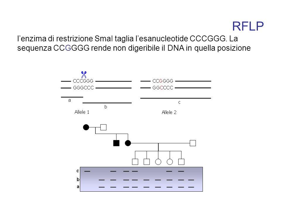 RFLP l'enzima di restrizione SmaI taglia l'esanucleotide CCCGGG.