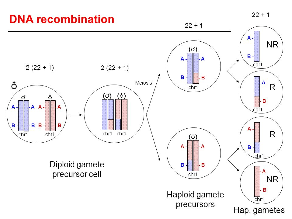 DNA recombination ♁ NR R R Diploid gamete precursor cell NR