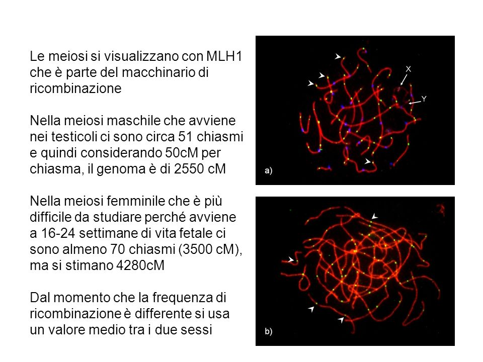 Le meiosi si visualizzano con MLH1 che è parte del macchinario di ricombinazione