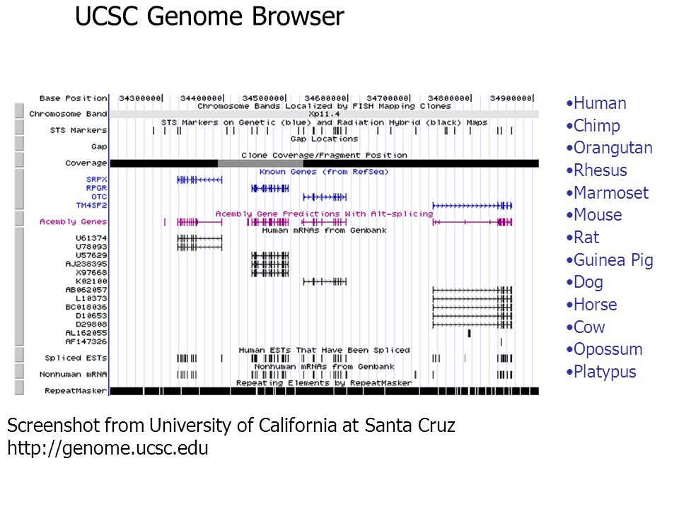 UCSC Genome Browser Human. Chimp. Orangutan. Rhesus. Marmoset. Mouse. Rat. Guinea Pig. Dog.