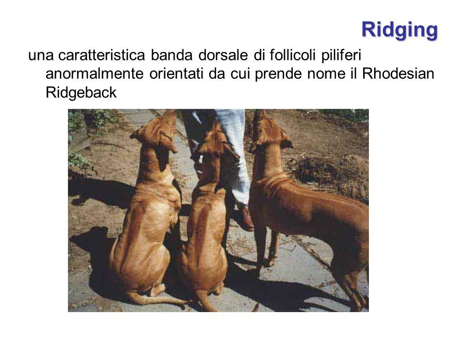 Ridging una caratteristica banda dorsale di follicoli piliferi anormalmente orientati da cui prende nome il Rhodesian Ridgeback.