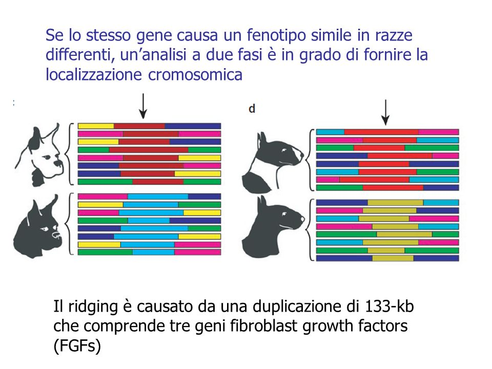 Se lo stesso gene causa un fenotipo simile in razze differenti, un'analisi a due fasi è in grado di fornire la localizzazione cromosomica