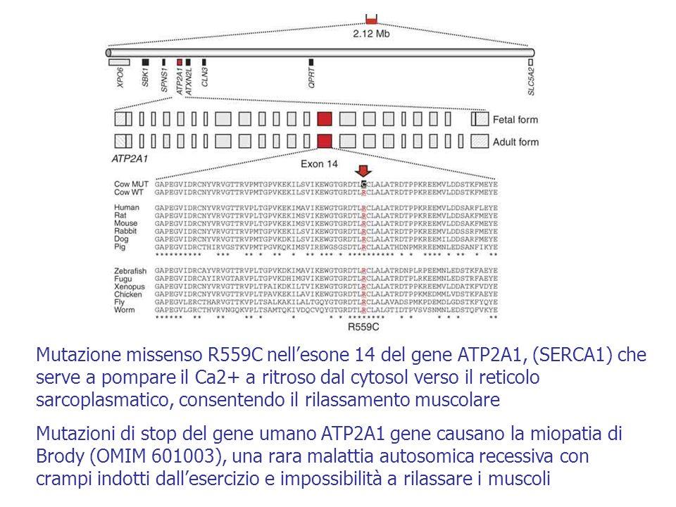 Mutazione missenso R559C nell'esone 14 del gene ATP2A1, (SERCA1) che serve a pompare il Ca2+ a ritroso dal cytosol verso il reticolo sarcoplasmatico, consentendo il rilassamento muscolare