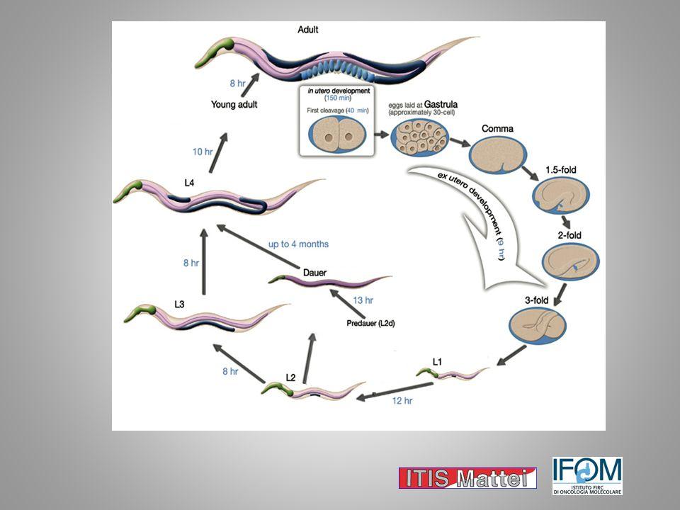Larva Dauer è un percorso alternativo che la larva prende quando si trova in condizioni sfavorevoli per esempio alte temperature o ridotta umidità, in questo stadio la larva smette di nutrirsi, rallentando così il suo metabolismo. Quando le condizioni ambientali tornano ad essere favorevoli il verme esce da questo stadio per rientrare nel normale ciclo vitale allo stadio L4.