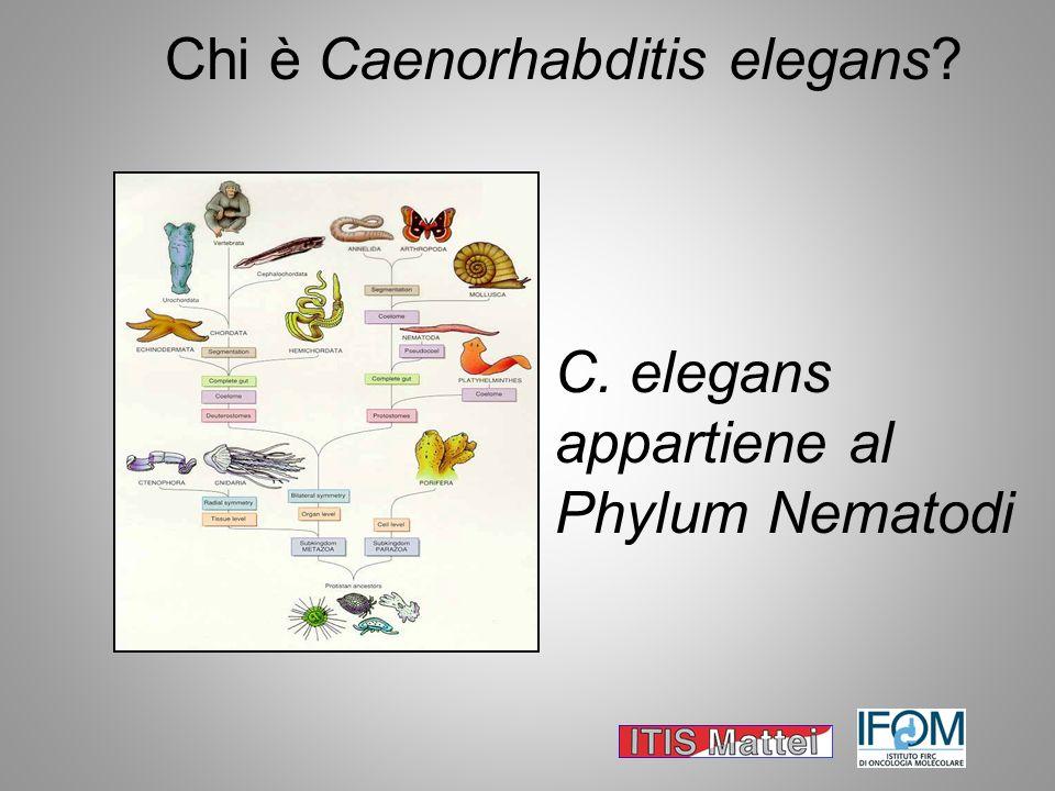 Chi è Caenorhabditis elegans