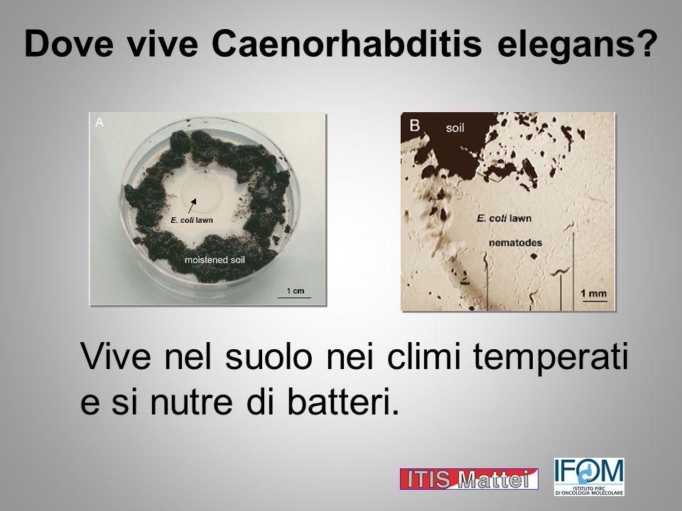 Dove vive Caenorhabditis elegans