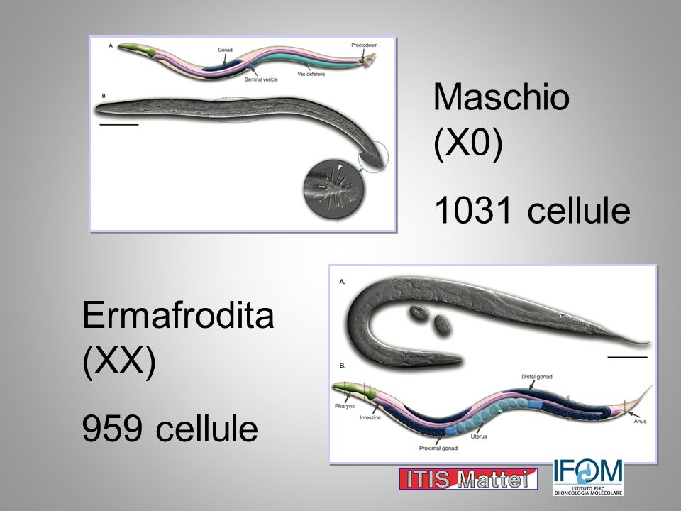 Maschio (X0) 1031 cellule Ermafrodita (XX) 959 cellule