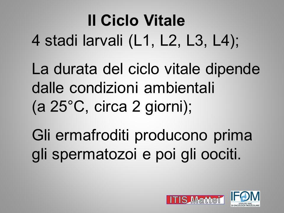 Il Ciclo Vitale 4 stadi larvali (L1, L2, L3, L4); La durata del ciclo vitale dipende dalle condizioni ambientali.
