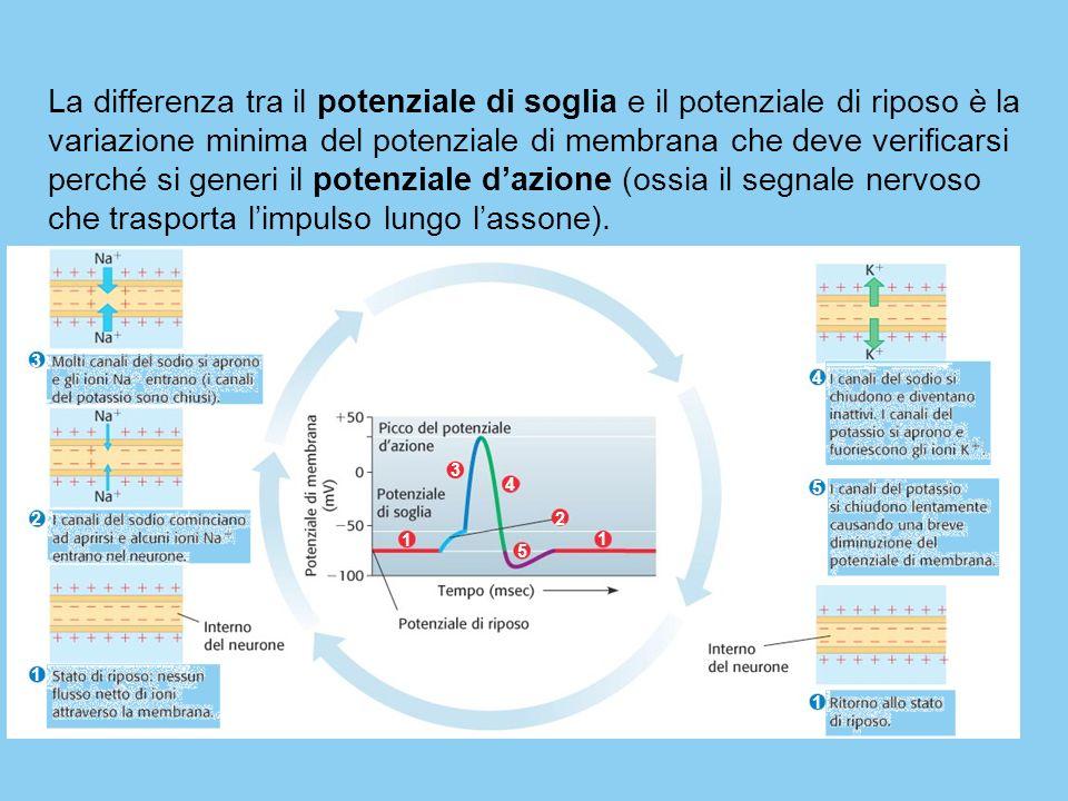 La differenza tra il potenziale di soglia e il potenziale di riposo è la variazione minima del potenziale di membrana che deve verificarsi perché si generi il potenziale d'azione (ossia il segnale nervoso che trasporta l'impulso lungo l'assone).