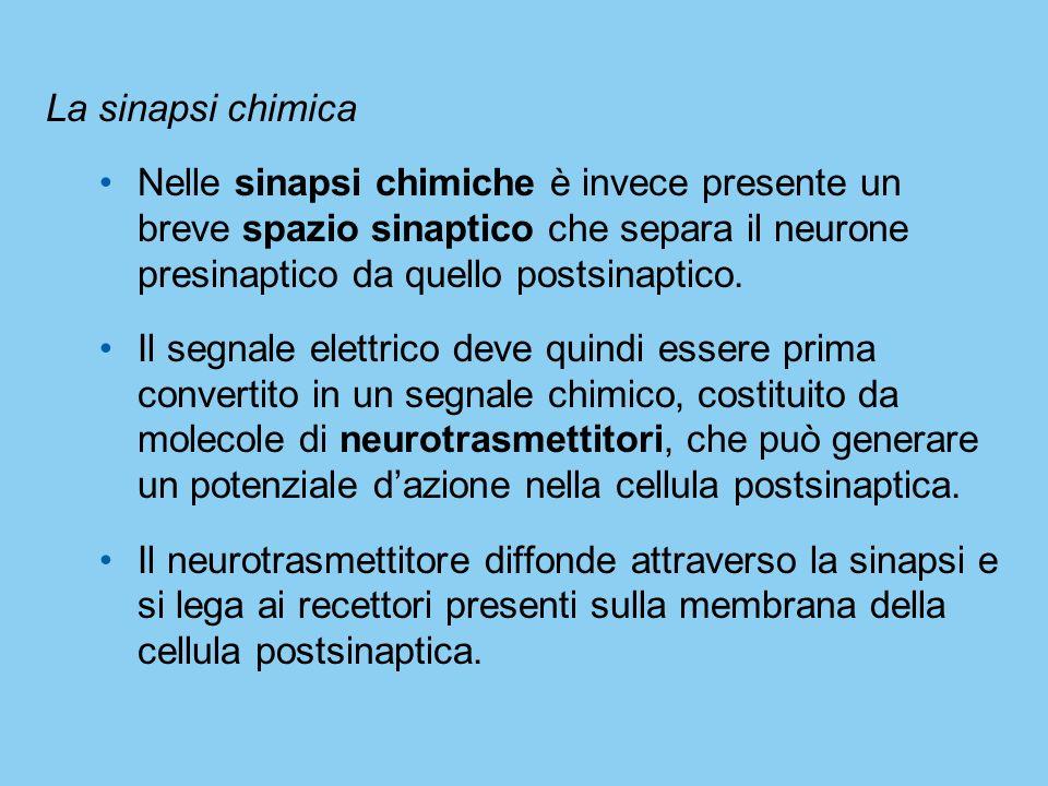 La sinapsi chimica Nelle sinapsi chimiche è invece presente un breve spazio sinaptico che separa il neurone presinaptico da quello postsinaptico.