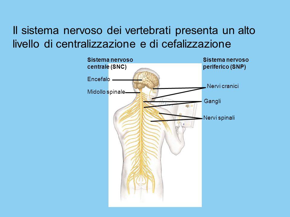Il sistema nervoso dei vertebrati presenta un alto livello di centralizzazione e di cefalizzazione Sistema nervoso.