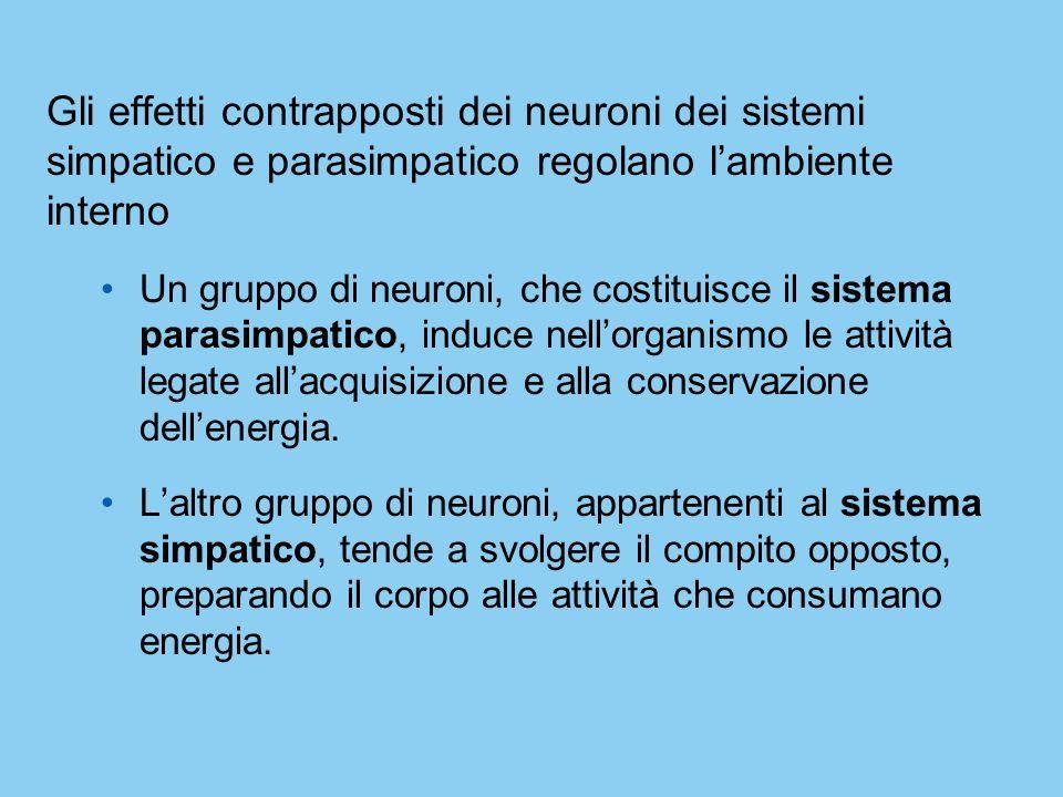 Gli effetti contrapposti dei neuroni dei sistemi simpatico e parasimpatico regolano l'ambiente interno