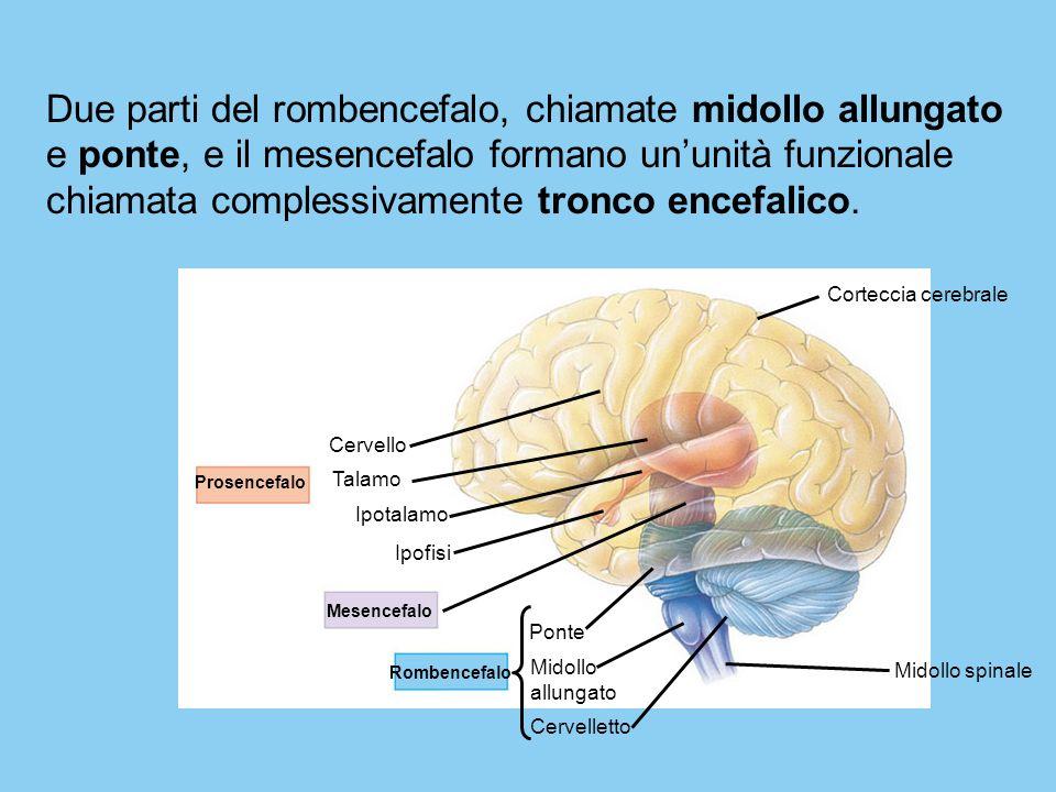 Due parti del rombencefalo, chiamate midollo allungato e ponte, e il mesencefalo formano un'unità funzionale chiamata complessivamente tronco encefalico.