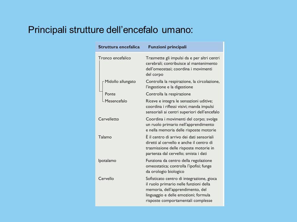 Principali strutture dell'encefalo umano: