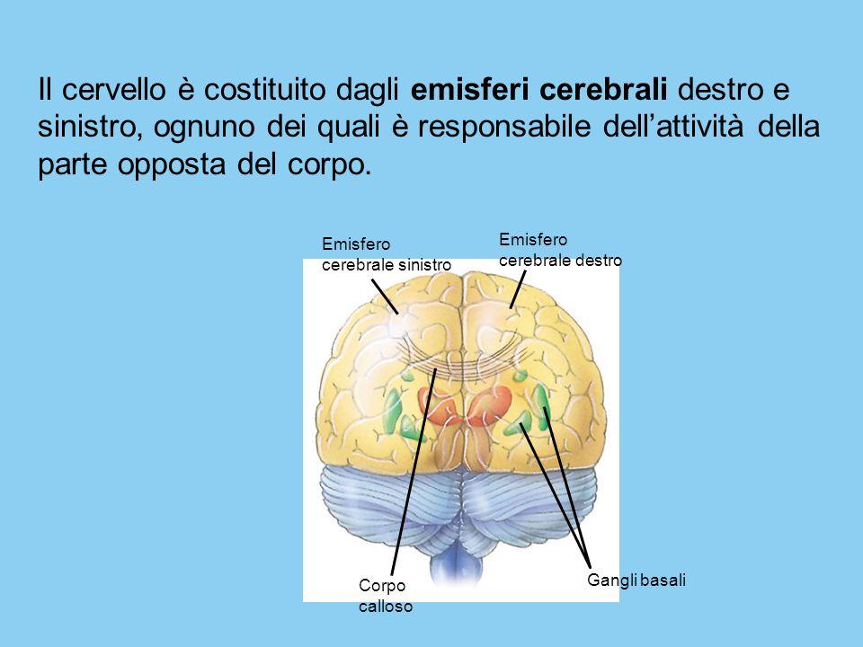 Il cervello è costituito dagli emisferi cerebrali destro e sinistro, ognuno dei quali è responsabile dell'attività della parte opposta del corpo.