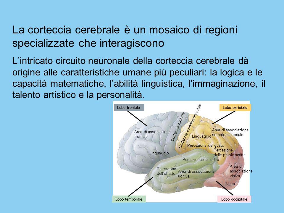 La corteccia cerebrale è un mosaico di regioni specializzate che interagiscono