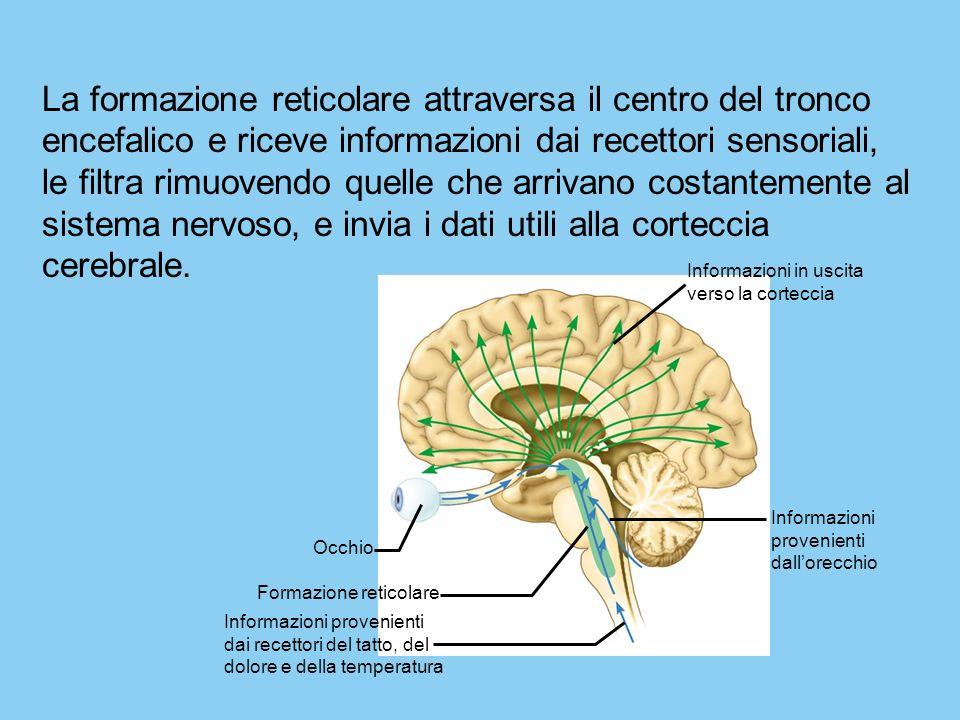 La formazione reticolare attraversa il centro del tronco encefalico e riceve informazioni dai recettori sensoriali, le filtra rimuovendo quelle che arrivano costantemente al sistema nervoso, e invia i dati utili alla corteccia cerebrale.