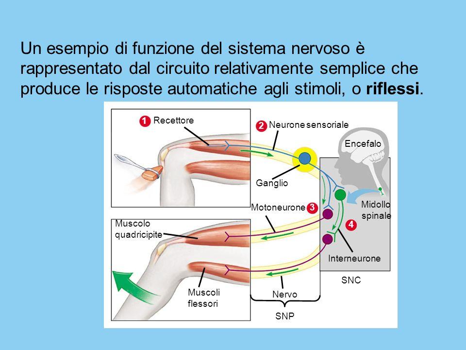 Un esempio di funzione del sistema nervoso è rappresentato dal circuito relativamente semplice che produce le risposte automatiche agli stimoli, o riflessi.