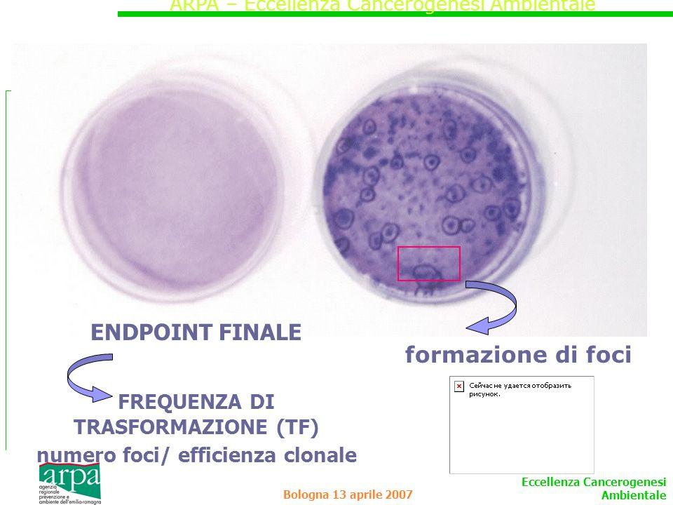 FREQUENZA DI TRASFORMAZIONE (TF) numero foci/ efficienza clonale